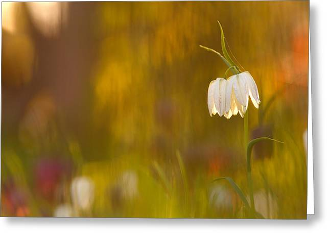 Fritillaria Greeting Cards - Natures Painting - Snakes head fritillaries Greeting Card by Roeselien Raimond