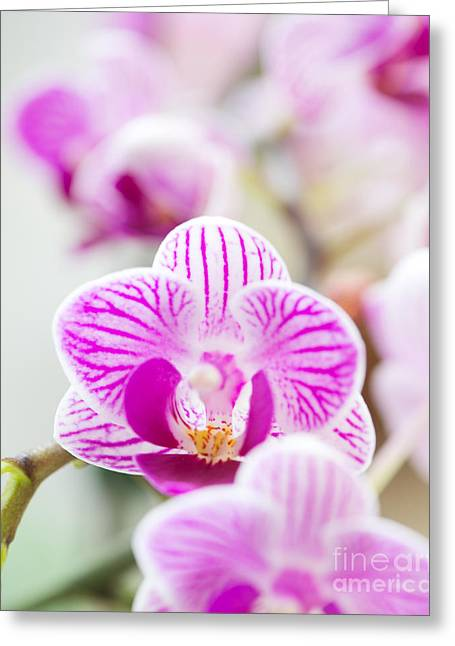 Dendrobium Greeting Cards - Natures Perfume Greeting Card by Ivy Ho