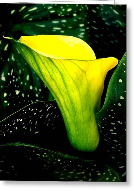 Calla Lily Greeting Cards - Natures Symphony Greeting Card by Karen Wiles