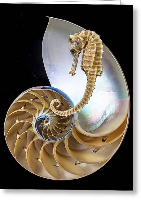 Colored Shell Greeting Cards - Nautilus With Seahorse Greeting Card by Garry Gay
