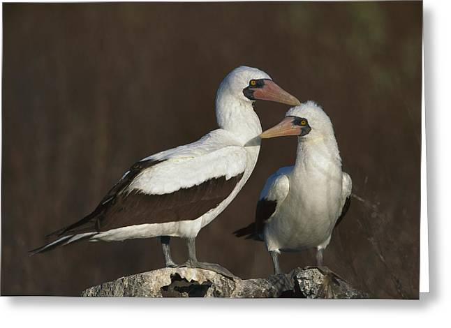 Nazca Greeting Cards - Nazca Booby Pair At Nest Site Galapagos Greeting Card by Tui De Roy