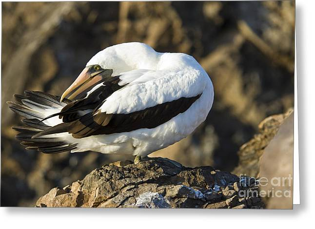 Nazca Greeting Cards - Nazca Booby Preening Greeting Card by William H. Mullins