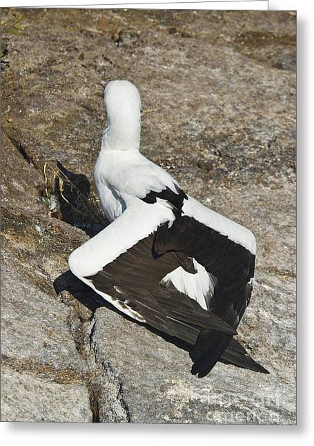 Nazca Greeting Cards - Nazca Booby Thermoregulating Greeting Card by William H. Mullins