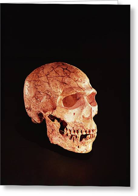 Primitive Greeting Cards - Neanderthal Skull, Discovered On Mt Carmel, Palestine C.1920 Bone Greeting Card by Prehistoric