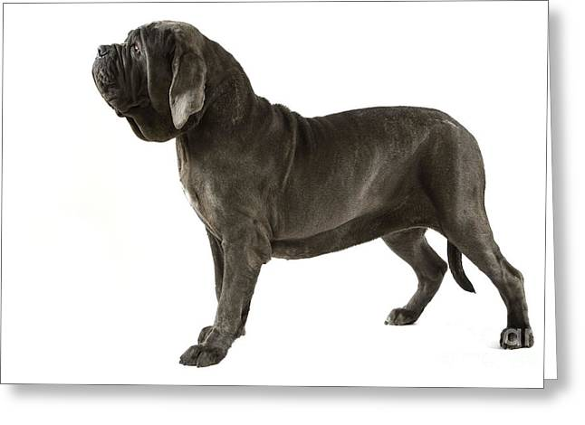 Neapolitan Greeting Cards - Neapolitan Mastiff Dog Greeting Card by Jean-Michel Labat