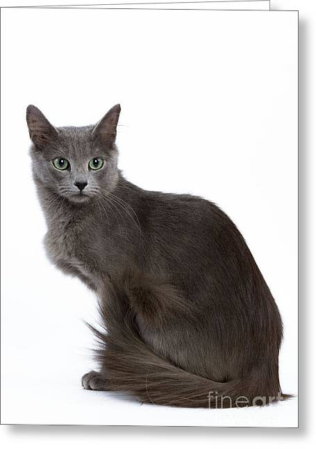 Gray Hair Greeting Cards - Nebelung Cat Greeting Card by Jean-Michel Labat