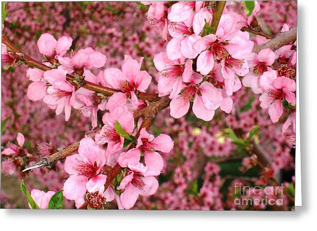 Polly Anna Greeting Cards - Nectarine Blossoms Greeting Card by Polly Anna