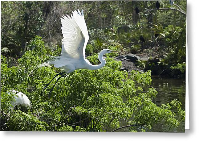 Great Egret Greeting Cards - Need More Branches Greeting Card by Carolyn Marshall