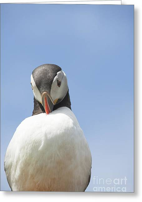 Seabirds Greeting Cards - Need To Look My Best Greeting Card by Anne Gilbert