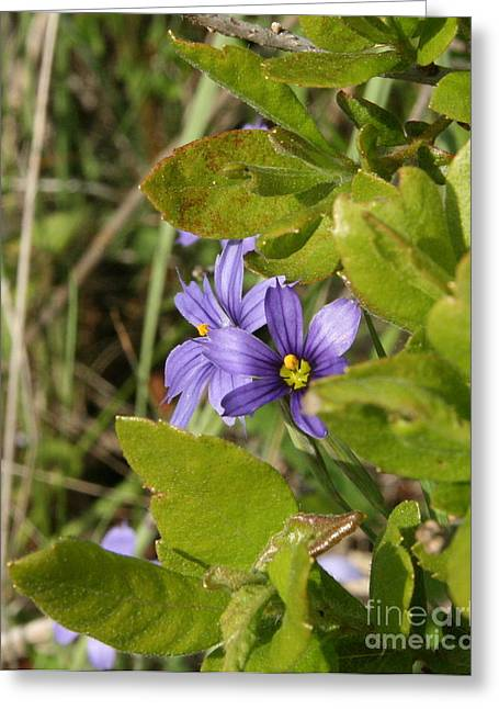 Wildflower Photos Greeting Cards - Needletip Blue Eyed Grass Greeting Card by Neal  Eslinger