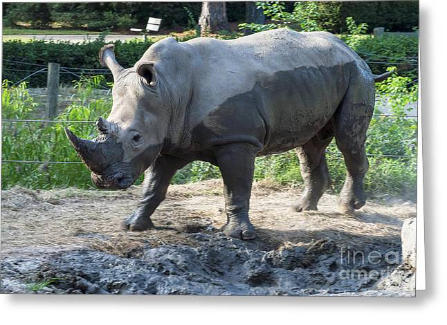 One Horned Rhino Greeting Cards - Needs a Bath Greeting Card by Bob Phillips