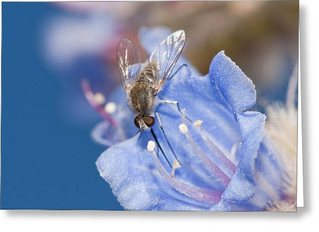 Eating Entomology Greeting Cards - Nemestrinid fly feeding Greeting Card by Science Photo Library