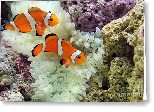 Scuba Diving Greeting Cards - Nemo Greeting Card by Jimmy Nelson