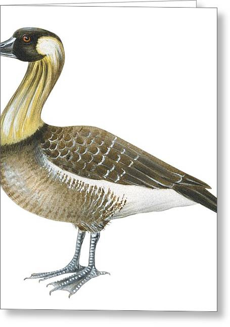 Duck Greeting Cards - Nene Greeting Card by Anonymous