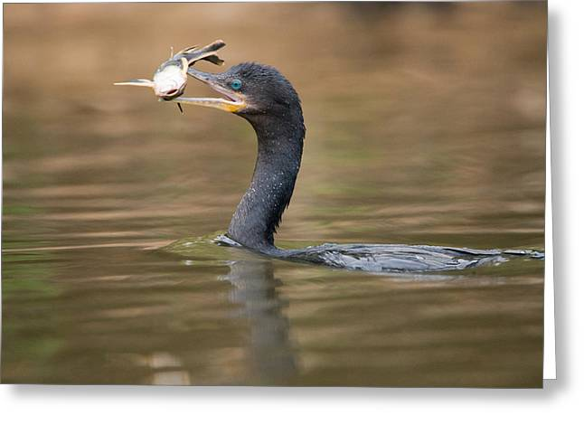 Cormorants Greeting Cards - Neotropic Cormorant Phalacrocorax Greeting Card by Panoramic Images