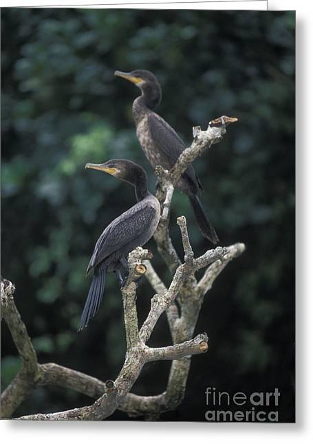 Neotropics Greeting Cards - Neotropic Cormorants Greeting Card by Ron & Nancy Sanford