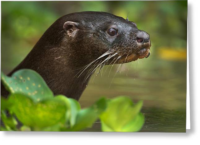 Animal Body Part Greeting Cards - Neotropical Otter Lontra Longicaudis Greeting Card by Panoramic Images