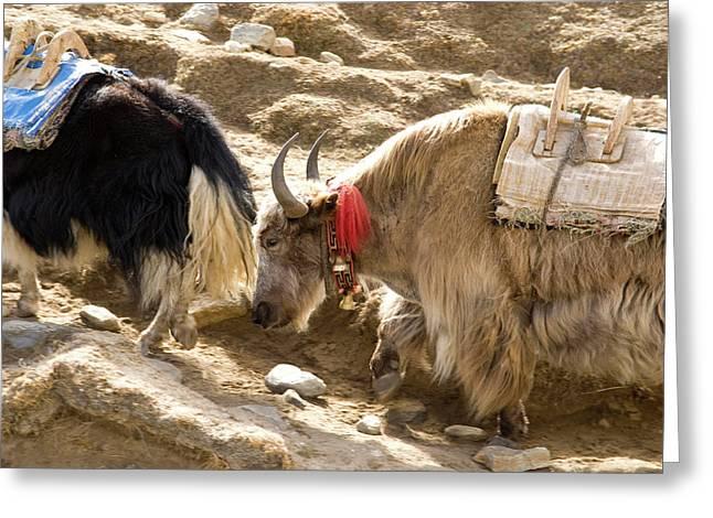 Nepal Yak Move Along The Everest Base Greeting Card by David Noyes