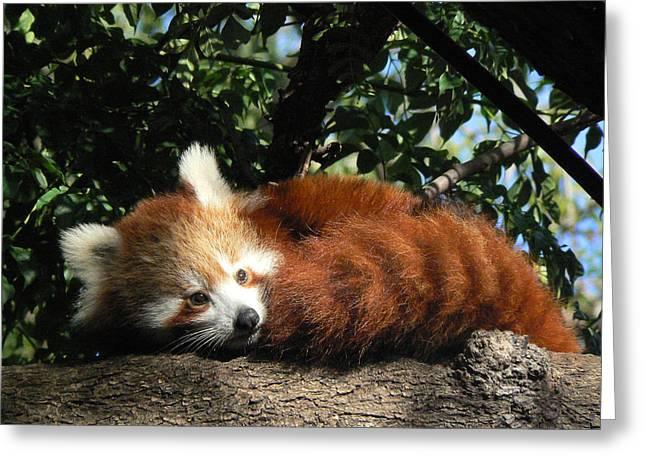 Saheed Greeting Cards - Nepalese Red Panda Greeting Card by Margaret Saheed