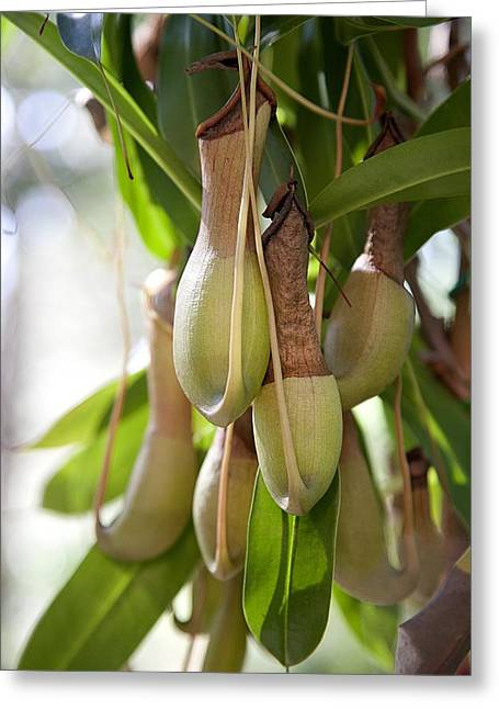 Epiphyte Greeting Cards - Nepenthes: tropical pitcher plant Greeting Card by Science Photo Library