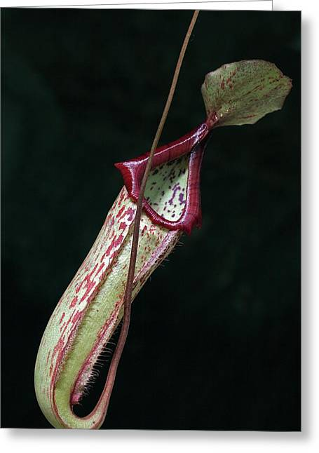 Nepenthes X Mixta Greeting Card by Dirk Wiersma