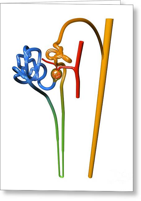 Tubules Greeting Cards - Nephron Structure, Artwork Greeting Card by Russell Kightley
