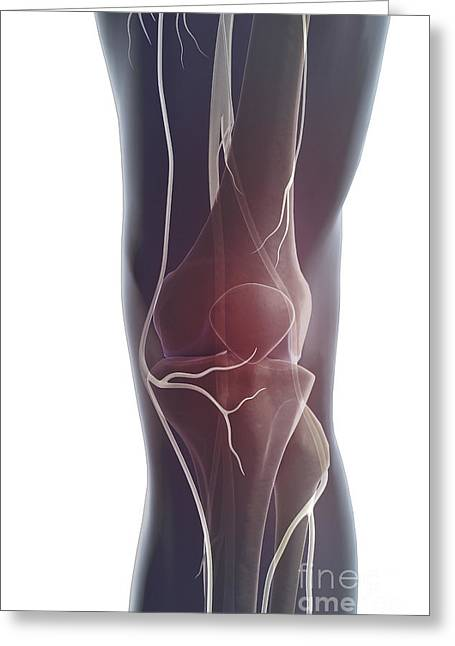 Tibial Nerve Greeting Cards - Nerves Of The Knee Greeting Card by Science Picture Co