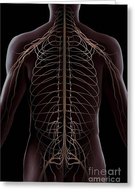 Sciatic Nerves Greeting Cards - Nerves Of The Trunk Greeting Card by Science Picture Co