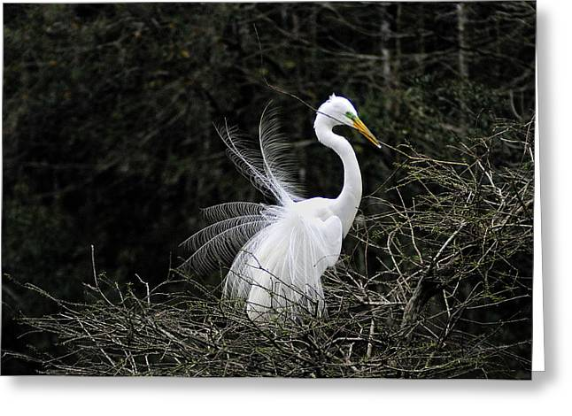 Bird Rookery Swamp Greeting Cards - Nest Building Egret Greeting Card by William McEvoy
