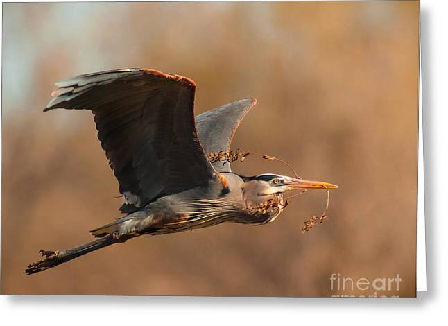 Frederick Greeting Cards - Nest-Building Great Blue Greeting Card by Robert Frederick