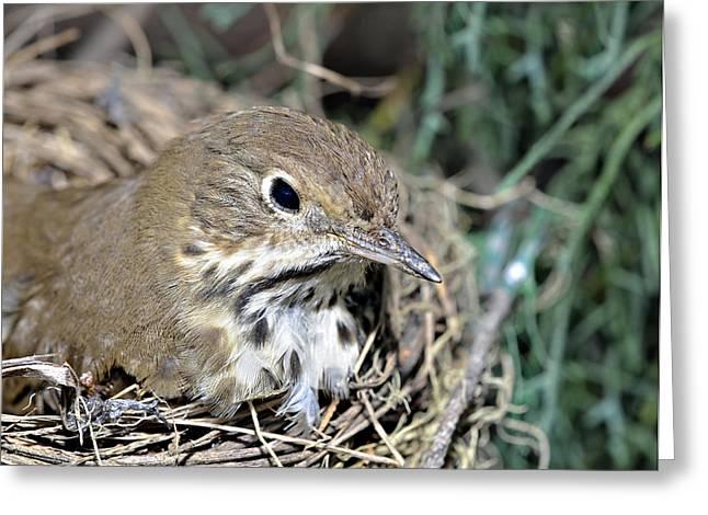 Nest In A Tree Greeting Card by Susan Leggett
