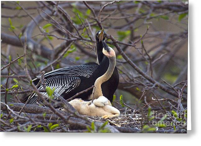 Florida Wild Turkey Greeting Cards - Nesting Anhingas Greeting Card by Mark Newman