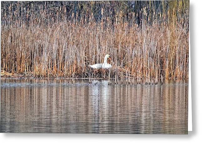 Swans... Greeting Cards - Nesting April 8 Greeting Card by Barbara Hart