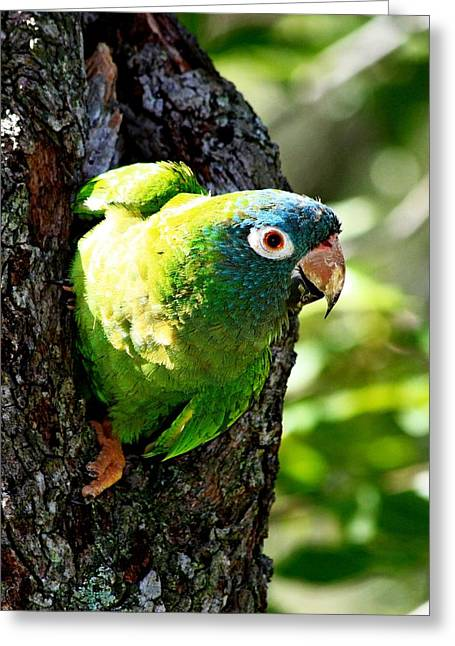 Quaker Parrot Greeting Cards - Nesting Blue-crowned Parakeet Greeting Card by Ira Runyan