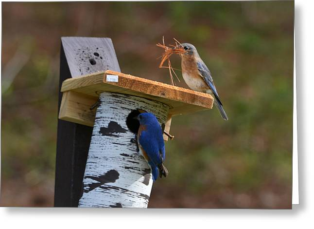 Marykzeman Greeting Cards - Nesting bluebirds Greeting Card by Mary Zeman