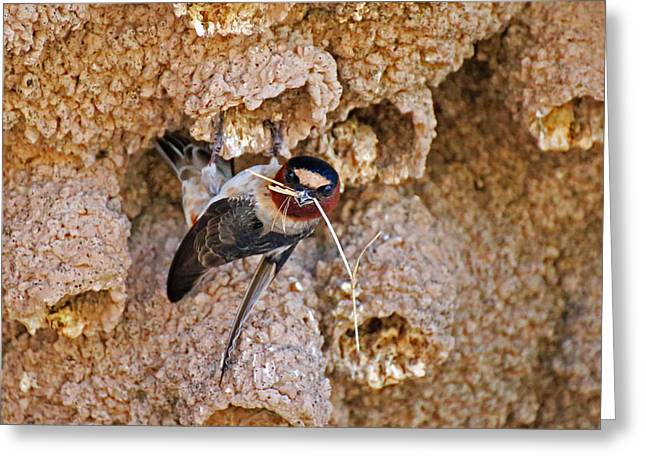 Swallow Nestlings Greeting Cards - Nesting Cliff Swallow Greeting Card by Renee Owens