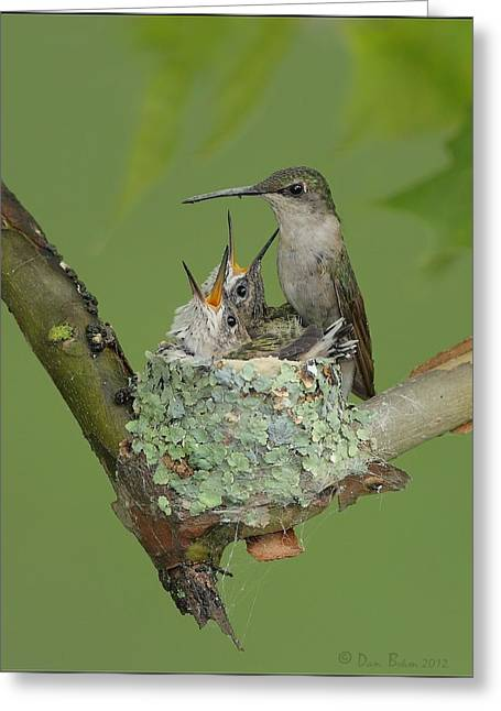 Ohio Pyrography Greeting Cards - Nesting Hummingbird Family Greeting Card by Daniel Behm