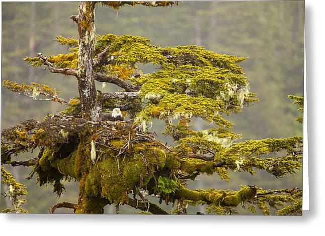 Temperate Rain Forest Greeting Cards - Nesting in a Rain Forest Greeting Card by Tim Grams
