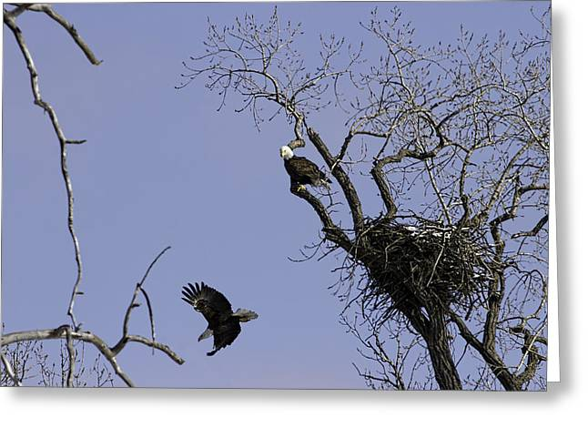 Nesting Pair Of American Bald Eagles 2 Greeting Card by Thomas Young