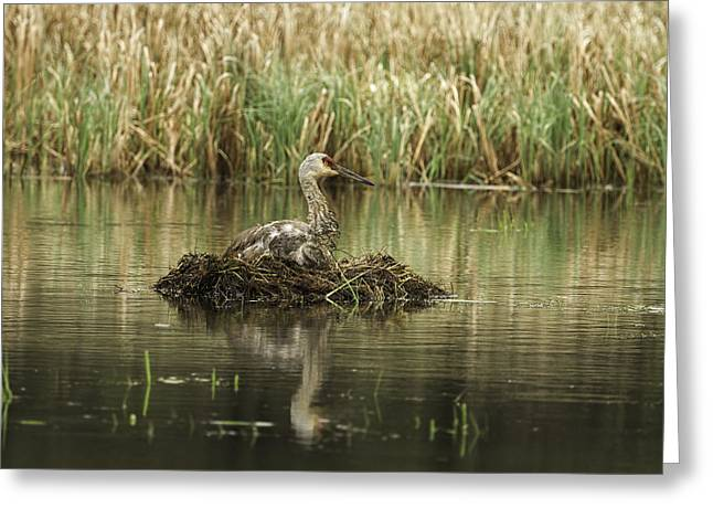 Nature Nesting Greeting Cards - Nesting Sandhill Crane 1 Greeting Card by Thomas Young