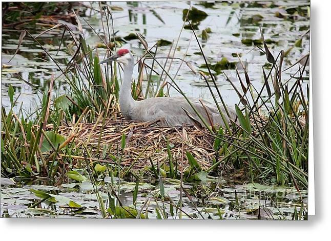 Cranes In Florida Greeting Cards - Nesting Sandhill Crane Greeting Card by Carol Groenen
