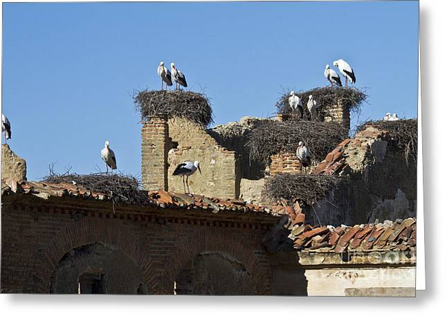 Zoologic Greeting Cards - Nesting Stork Colony Greeting Card by Heiko Koehrer-Wagner