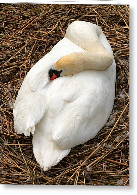 Swans... Greeting Cards - Nesting Swan Greeting Card by Jim Hughes