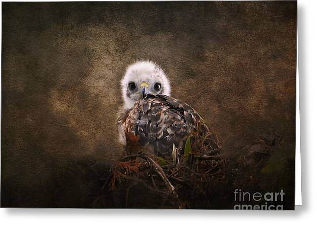 Red Shouldered Hawk Greeting Cards - Nestling Greeting Card by Jai Johnson