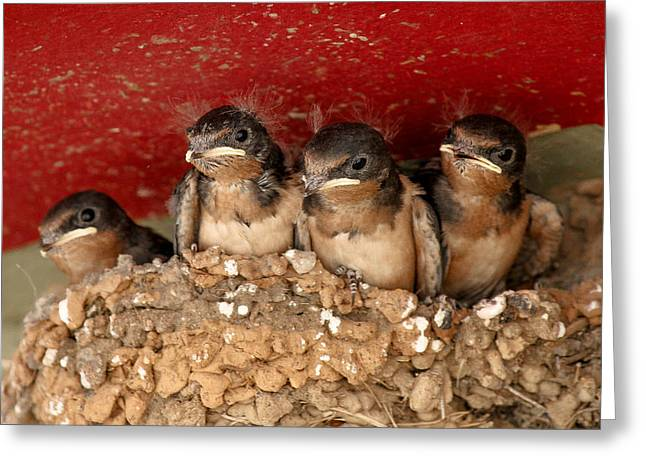 Swallow Nestlings Greeting Cards - Nestlings Greeting Card by Jim Painter