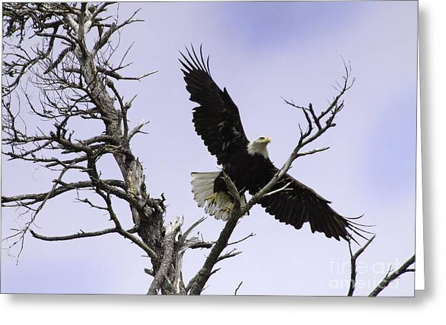 Tim Moore Greeting Cards - Netarts Bald Eagle Greeting Card by Tim Moore