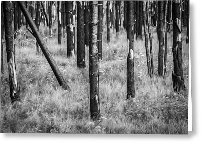 High Park Fire Greeting Cards - New and Old Burnt Trees and New Grass Glacier National Park BW Greeting Card by Rich Franco