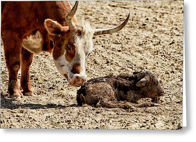 Love The Animal Greeting Cards - New Born Cow Calf Greeting Card by Brian Orlovich