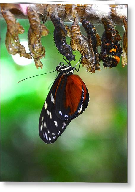 Cocoon Greeting Cards - New Butterfly Greeting Card by Catherine Murton