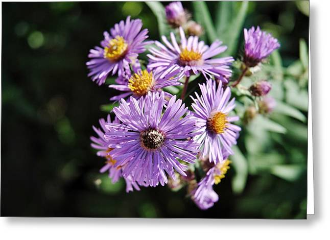 Aster Mixed Media Greeting Cards - New England Aster 4 Greeting Card by Todd and candice Dailey